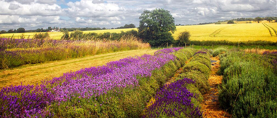 Picture of Shropshire Lavendar